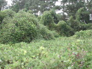 """Known as """"The vine that ate the south"""", forms dense mono-cultures that out compete native ground cover and forest trees. Can grow by up to one foot a day"""